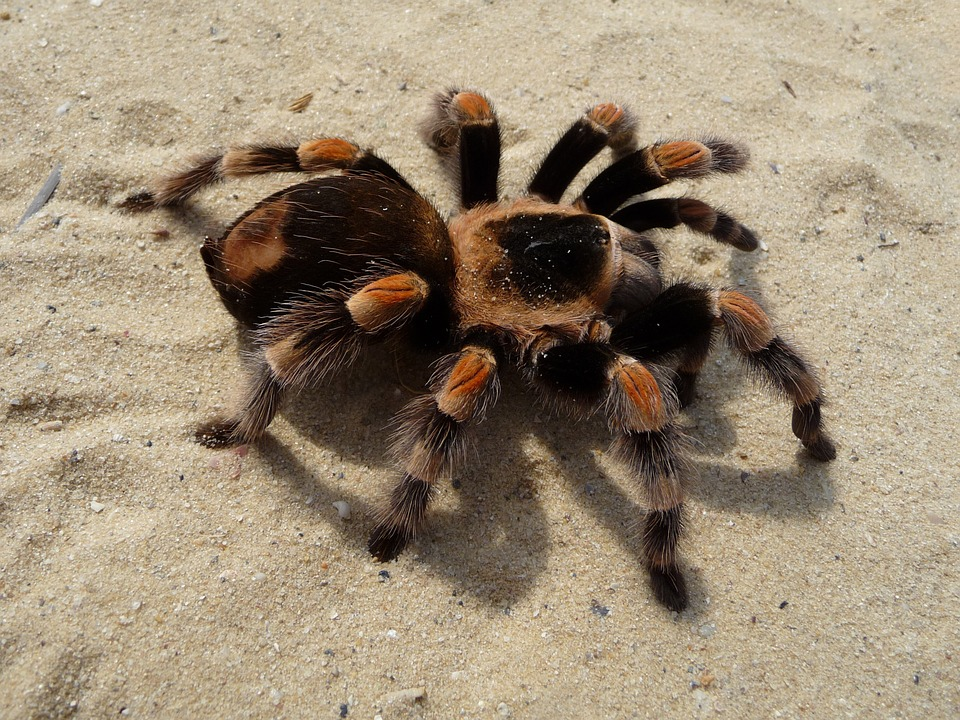 tarantula-62868_960_720